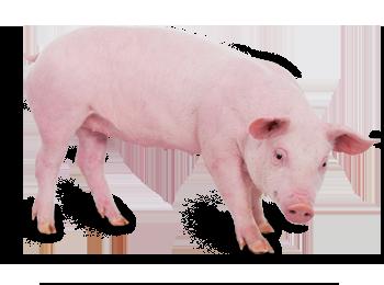 Domestic Swine